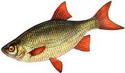 Рыба Краснопёрка